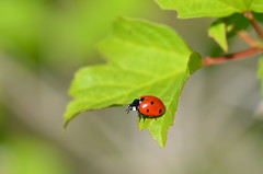 Jump or fly (dfromonteil) Tags: ladybug coccinelle bug insect insecte leaf feuille rouge vert noir black red green orange colors couleurs mature life wildlife macro bokeh light sunlight lumière ensoleillé