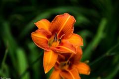 Flower Friday and Lens Testing (Kent Freeman) Tags: canon eos 5d mark iii ef 24105mm f4 l is ii usm disney california adventure disneyland