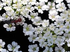 Primavera... (@oloarge) Tags: primavera fiorellini formicarossa bianco redant spring flowers closeup oloarge