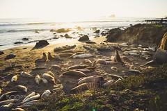Untitled (HoustonHVAC170) Tags: sky landscape sea sunset water nature beach travel island ocean rock california sand canon shore seascape dawn seashore seal outdoors scenic mating season san simeon elephant t3i 600d northern molting