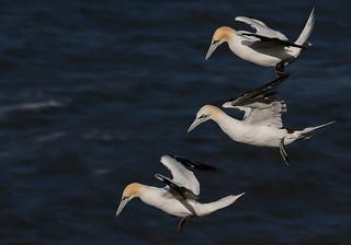 Northern Gannets,  Morus bassanus