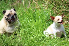 post d and z (Jeanet Roman) Tags: pet pug chihuahua white brown grass green sun sunny houston texas love tongue waller cypress hockley
