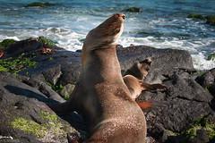 Sea Lion Mom and Cub (pbmultimedia5) Tags: sea lion fernandina island galapagos national park ecuador cub marine wildlife pbmultimedia