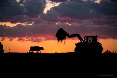 Farming Silhouette (Jenna.Lynn.Photography) Tags: beefcow wisconsincows farm farming silhouette sunset color colorful sky clouds hay tractor cow feeding agriculture wisconsin cows beef calf angus black