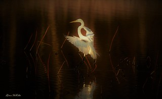 red velvet egret