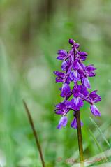 Sarzeau (Saint Martin) (Guy_D_2010) Tags: sarzeausaintmartin d90 bretagne france orchidée flower fleur fiore flor floare nikon nikonfrance nikoniste nature morbihan golfedumorbihan bokeh awesomeblossoms