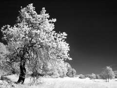 White spirit (Lolo_) Tags: infrared ir lançondeprovence france infrarouge arbre 715nm field champ bw provence tree skancheli