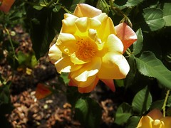 varigated sunshine (MissyPenny) Tags: rose yellow josephscoat plant flower usa bristolpennsylvania pdlaich garden