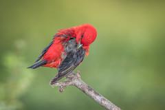 Scarlet Tanager (Joe Branco) Tags: ontario canada lightroomcc2015 photoshopcc2017 nikond500 nikon joebrancophotography branco joe nature songbirds birds wildlife scarlettanager green
