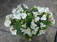 WHITE PRINCESS LILY (ALSTROMERIA) (teddybarb) Tags: flower flowers floweringplant gardens garden plant plants landscaping yard backyard alstromeria princesslily