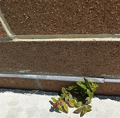 Tenacity (LarryJay99 ) Tags: plant life florida westpalmbeach wall iphone7 photostream sidewalk iphone7plusbackdualcamera399mmf18 tenacity urban urbannature greenwall