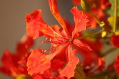 IMG_9317 (Satheesh , Bejna & Aman) Tags: doha flowers city summer mayflower