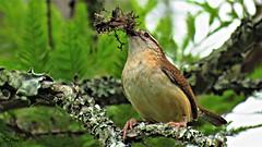 Carolina Wren (Suzanham) Tags: wren carolinawren nesting perching nature wildlife songbird southeast mississippi noxubeerefuge feathers