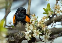 IMG_0267  American Redstart_warbler (ashahmtl) Tags: americanredstart warbler bird songbird passerine setophagaruticilla longpointprovincialpark norfolkcounty ontario canada
