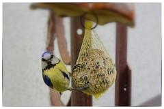 Bluetit (AD2115) Tags: tits blue bird vogel vögel animals garden birdwatching ornithology feed outdoor special