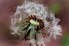 DANDYlion (Jenna.Lynn.Photography) Tags: wish wisconsin dandelion flower weed seeds seed color stilllife plant northwoods spring springtime