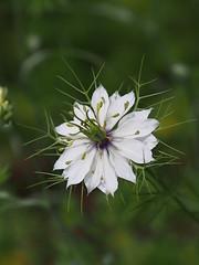 ニゲラ (Polotaro) Tags: mzuikodigital45mmf18 flower nature olympus epm2 pen 花 自然 オリンパス ペン ニゲラ 5月 庭 garden