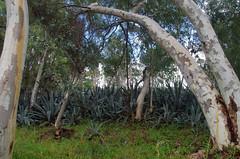 Eucalyptus camaldulensis and Agave americana, Forrestfield, Perth, WA, 21/05/17 (Russell Cumming) Tags: plant weed eucalyptus eucalyptuscamaldulensis myrtaceae agave agaveamericana asparagaceae forrestfield perth westernaustralia