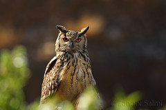 Rock Eagle Owl (Zahoor-Salmi) Tags: zahoorsalmi salmi wildlife pakistan wwf nature natural canon birds watch animals bbc flickr google discovery chanals tv lens camera 7d mark 2 beutty photo macro action walpapers bhalwal punjab
