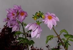 Dahlia imperialis, Bell tree dahlia (AlfredSin) Tags: alfredsin australianflowers australianplants pinkflower dahliaimperialis belltreedahlia violetflowers canonpowershotpro1