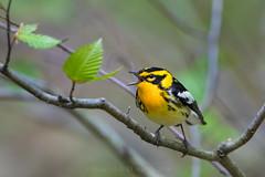 "Lonely Only Orange 313301 (Dr DAD (Daniel A D'Auria MD)) Tags: ""blackburnianwarblers"" warblers"" ""songbirds"" orange bird birds birding nature wildlife animal ""wildlifephotography"" ""naturephotography"" ""birdphotography"" avian ""avianspecies"" ""avianphotography"" ""birdinginthewild"" feathers ""featheredfriends"" ""worldbirds"" ""birdsoftheworld"" flight ""inflight"" colors wings ""rickett'sglenstatepark"" ""pennsylvania"" ""birdsofpennsylvania"" ""may2017"""