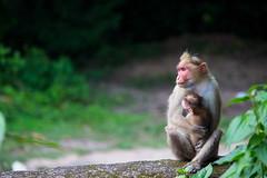 IMG_1909-2 (Ajith Panayil) Tags: kerala trivandrum light animal wild wildlife monkey monkeyfamily family smallmonkey nature thenmala dam eco tourisum
