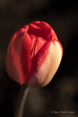 La T U L I P E (Sous l'Oeil de Sylvie) Tags: tulipe fleur flower rouge red vivace sousloeildesylvie pentax ks2 arboretum stgeorges beauce québec mai may macro macrophotgraphie pdc bokeh profondeurdechamps