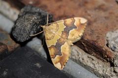Cidaria fulvata (Forster, 1771) (Marcell Kárpáti) Tags: cidariafulvata larentiinae geometridae lepidoptera barredyellow rózsaaraszoló moth lepke garáb cserhátmountains hungary