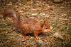 red squirrel foraging (Snapdragon Lincs) Tags: red squirrel form by pinewoods springtime foraging food cheeky rare cute outdoors woodland wildlife