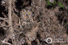 Workshop: Rapaci notturni (Edoardo Simula) Tags: workshop owl night raptors wildlife wild wings photo nature sardegna alghero sardinia portoconte birdwatching bird