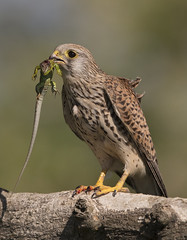 Nature, red in tooth and claw (Chris Bainbridge1) Tags: falco tinnunculus common kestrel with prey european green lizard female lacerta viridis western hugary canon eos 5dsr 500mm f4 ii l korosmaros