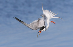 Slippery Catch 2/2 (bmse) Tags: forsters tern catch fish slippery bolsa chica california bmse salah baazizi wingsinmotion canon 7d2 400mm f56 l