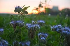 Good Morning Flowers (Tanja-Milfoil) Tags: früh morgend felder foto rheinlandpfalz deutschland germany milfoil tanja nikon sonnenaufgang flowers feldblume blumen