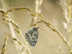 Bien accroché **--- ° (Titole) Tags: demideuil papillon butterfly melanargiagalathea échiquier marbledwhite damenbrett schachbrett mediolutonorteña argegalathée titole nicolefaton grass grasses thechallengefactory