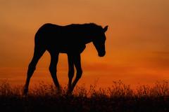 Homeward bound (FocusPocus Photography) Tags: fohlen foal pferd horse tier animal sonnenuntergang sunset wiese meadow marbach hauptundlandgestüt