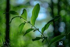 ORDINE (Lace1952) Tags: fiore ordine natura sottobosco bokeh bolle panasoniclumix pancolar