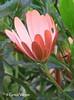 African Daisy (✿ Graça Vargas ✿) Tags: margarida daisy africandaisy purple macro flower graçavargas ©2017graçavargasallrightsreserved 12406100617 corfu greece