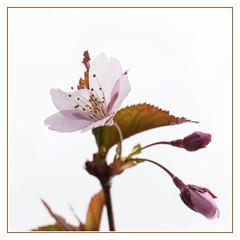 Fleur rose ... (sosivov) Tags: sweden spring squareformat square flower flowers cherryblossom macro frame