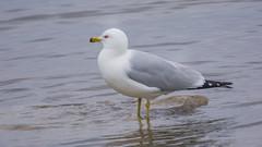 Ring-billed Gull (Larus delawarensis) (ekroc101) Tags: birds ringbilledgull larusdelawarensis manitoba hecla heclaprovincialpark
