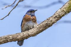 Western Bluebird Adult Male Showing Yellow Gape (marlin harms) Tags: sialiamexicana westernbluebird