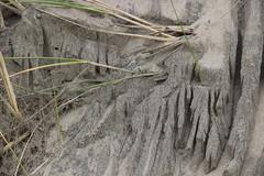 Textures created by tidal water run-off through beach grass. (nikname) Tags: oregonbeaches oregoncoast beachtextures sandytextures sanddesigns beachgrass grasstextures