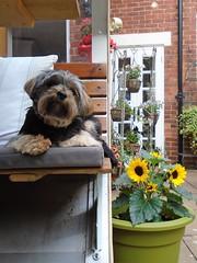 Flo Yorkie Poo in the garden (@oakhamuk) Tags: flo yorkiepoo garden