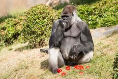 2017-06-05-10h39m01.BL7R6933 (A.J. Haverkamp) Tags: bokito canonef100400mmf4556lisiiusmlens rotterdam zuidholland netherlands zoo dierentuin blijdorp diergaardeblijdorp httpwwwdiergaardeblijdorpnl gorilla westelijkelaaglandgorilla dob14031996 pobberlingermany nl
