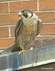 Mimi, adult female falcon