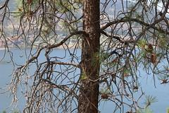 Jack Pine, Knox Mountain Trail, Kelowna BC (nikname) Tags: lakeokanagan kelownabc knoxmountaintrail kelownabccanada bcparks trees