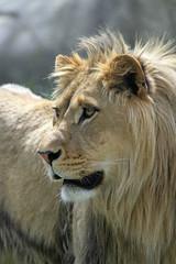 Atlas (olivier.ghettem) Tags: zoodeparis zoodevincennes zoo parczoologiquedeparis paris lion liondafrique liondelatlas felin fauve carnivore animal afrique africa atlas