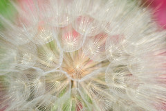 farandole (christophe.laigle) Tags: géant fleur macro xf60mm rose flower fuji giant farandole dandelion xpro2 pissenlit christophelaigle naturethroughthelens salsify salsifis