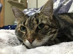 """""""Again?"""" (sjrankin) Tags: 15june2017 edited animal cat tigger closeup yubari hokkaido japan blanket"""