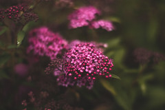Pink Spiraea (Chloé +++) Tags: spiraea pink rose flore flora june new natural nature leaf leaves flowers flower fleurs fleur trees tree arbre arbres arbuste garden jardin spring springtime printemps proxi green light dof depthoffield france occitanie midipyrénées canon eos 50mm