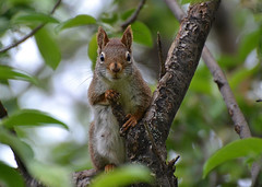 Striking A Pose (DaPuglet) Tags: squirrel squirrels animal animals nature wildlife tree pose redsquirrel red fur ngc npc coth coth5 sunrays5